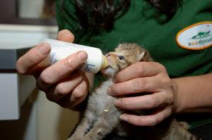 chat sauvage avec animalier à zoodyssée