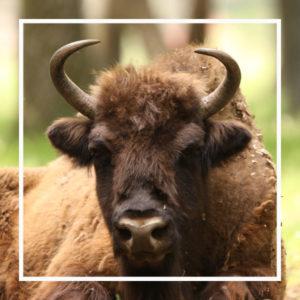 le bison, un animal star à zoodyssée