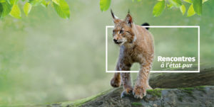 le lynx : un animal star à Zoodyssée