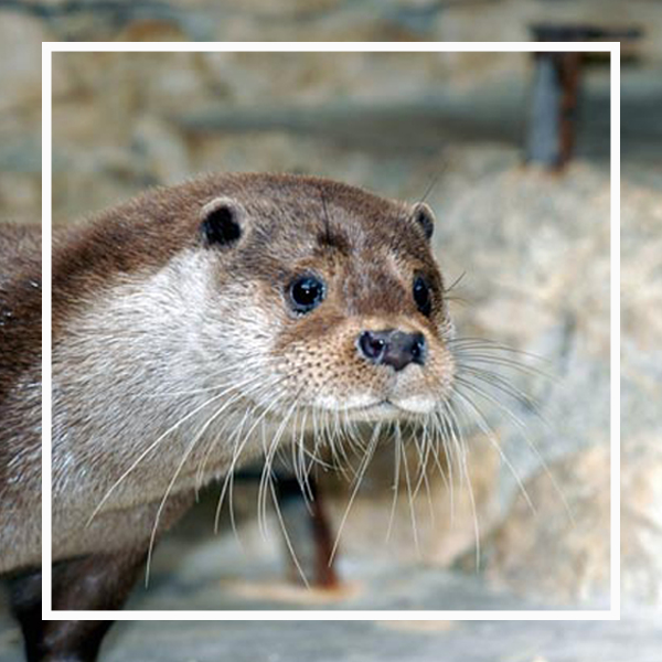 la loutre, un animal star à zoodyssée
