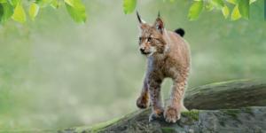 le lynx, un animal star au parc de Zoodyssée