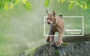 le lynx : un animal star de Zoodyssée