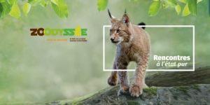le lynx : un animal star à Zoodyssée