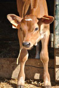 jeune vache partenaise