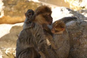 famille singe magot