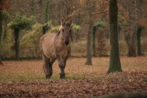 mule poitevine