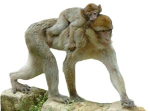 singe magot avec son petit