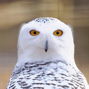 oiseaux : la chouette harfang des neiges