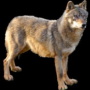 loup détouré