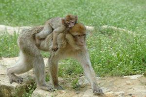 singe magot et son petit