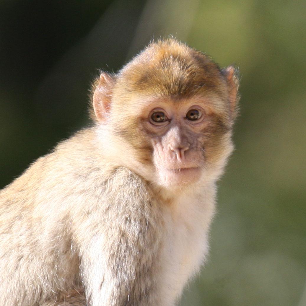 portrait d'un singe magot