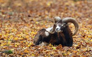 mouflon-zoodyssee