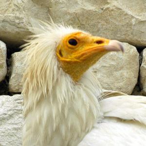 oiseaux : vautour percnoptère