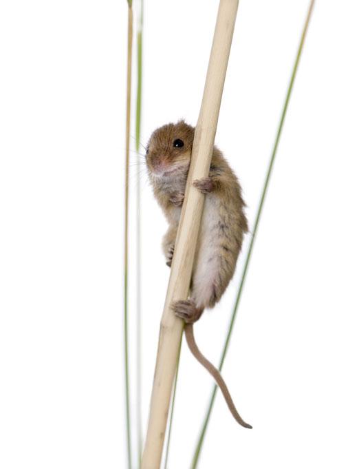 rat des moissons