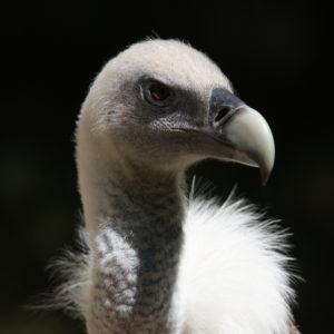 oiseaux : vautour fauvre