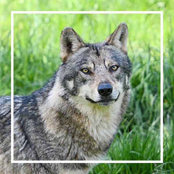 le loup, un animal star à zoodyssée