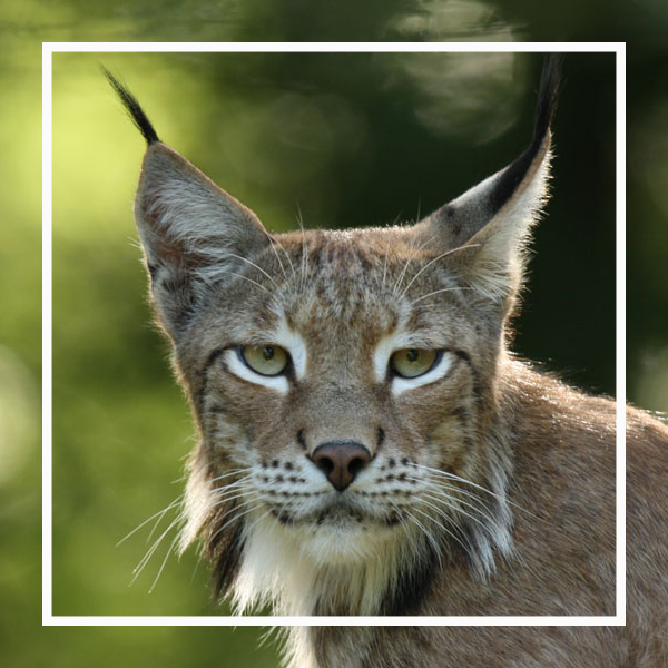 le lynx, un animal star à zoodyssée