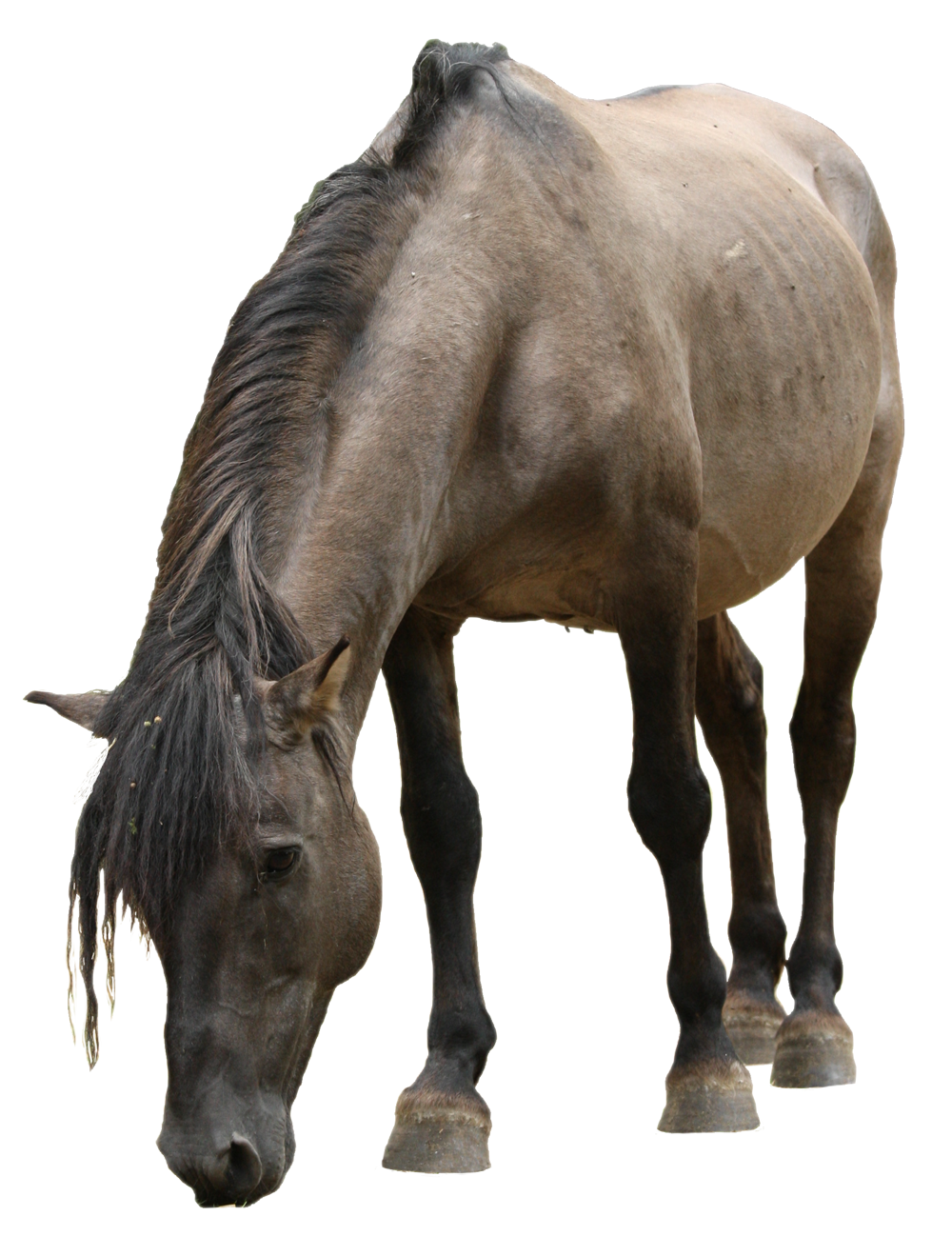 cheval konik polski