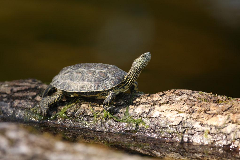 tortue émyde lépreuse