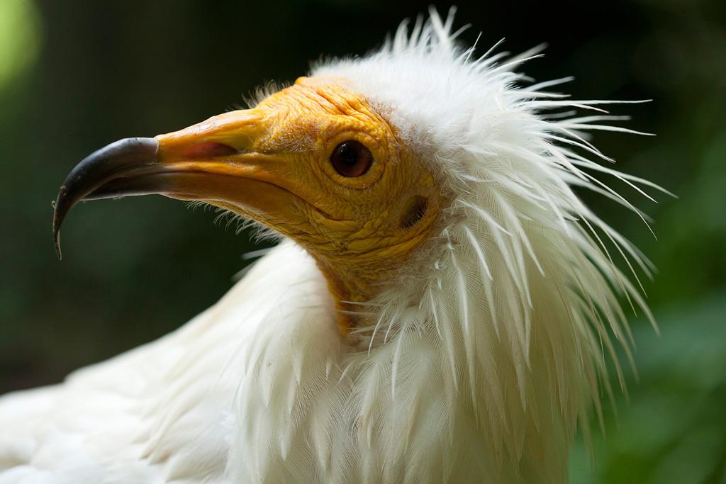 vautour-percnoptere2